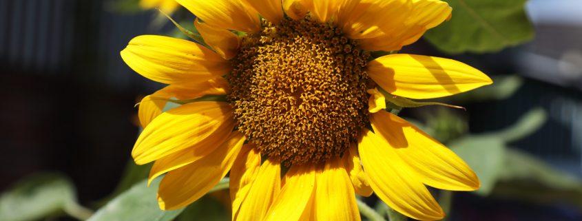Sonntags Hof Langenfeld Bohnen Selberpflücken Sonnenblume